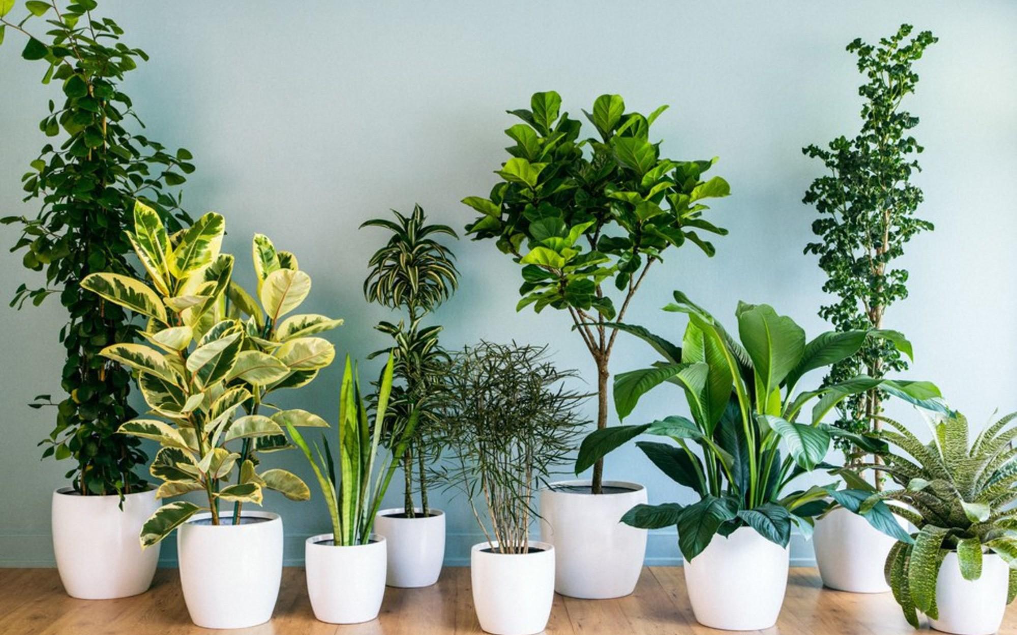 """10 loại cây cảnh không cần quá nhiều nắng lại chịu được điều hòa, """"cứu  tinh"""" của nhà chung cư"""